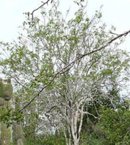 パロサントの木