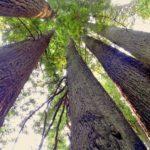 カリフォルニアレッドウッドの盆栽